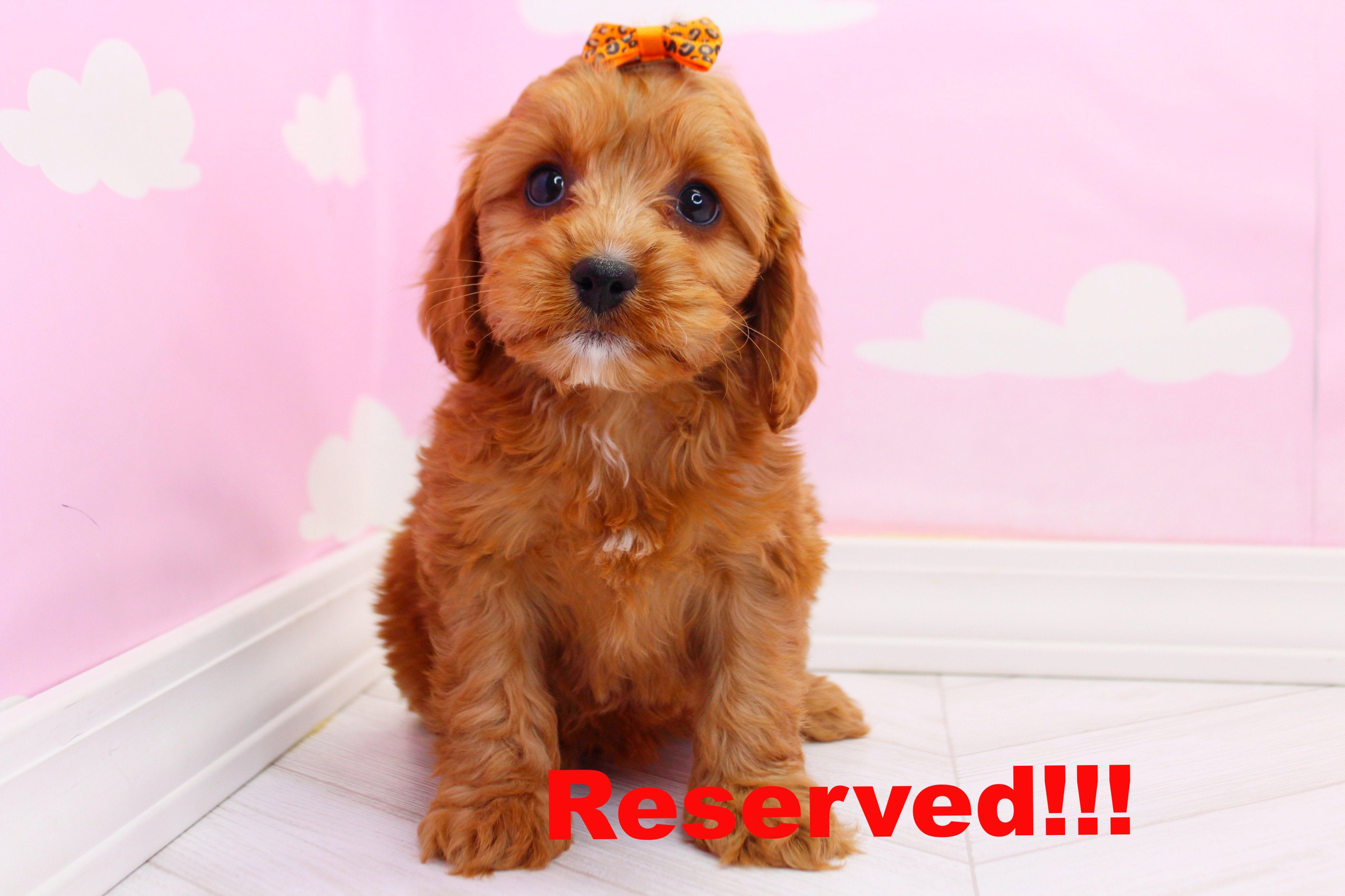 Katniss Female Cavapoo Puppy