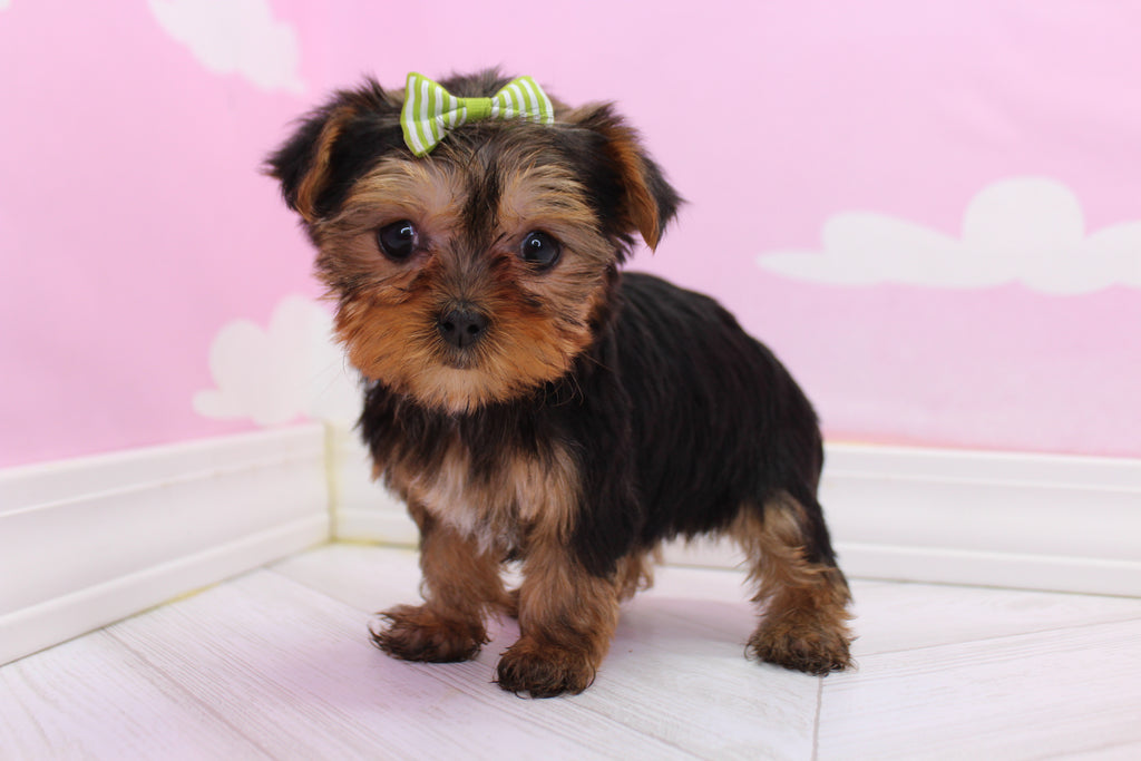 Meadow Female Teacup Yorkie Puppy