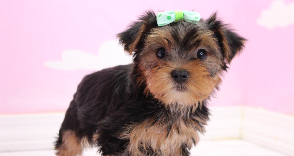 Sunshine Female Teacup Yorkie Puppy