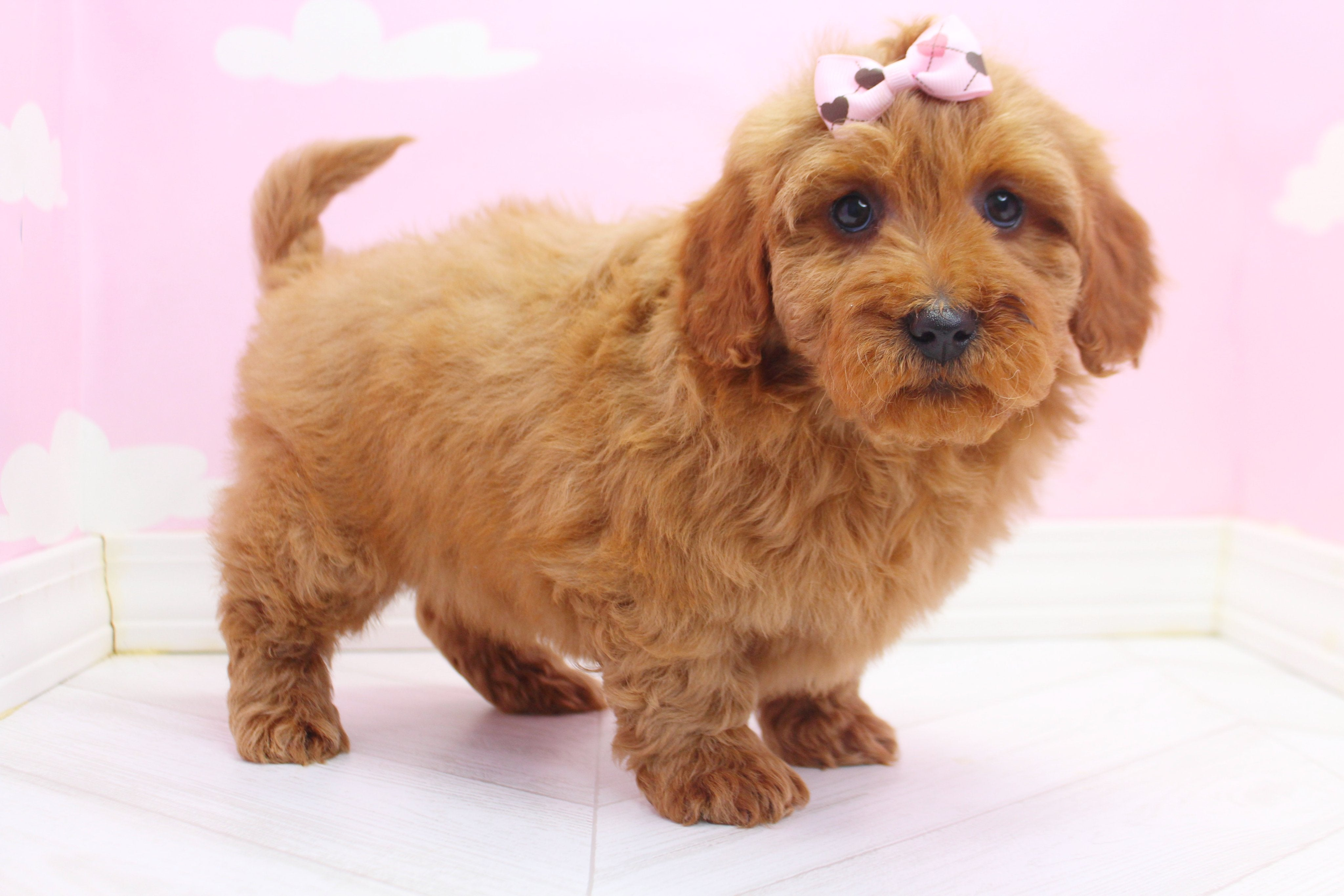 *RESERVED* Chevelle Female F1B Miniature Goldendoodle Puppy