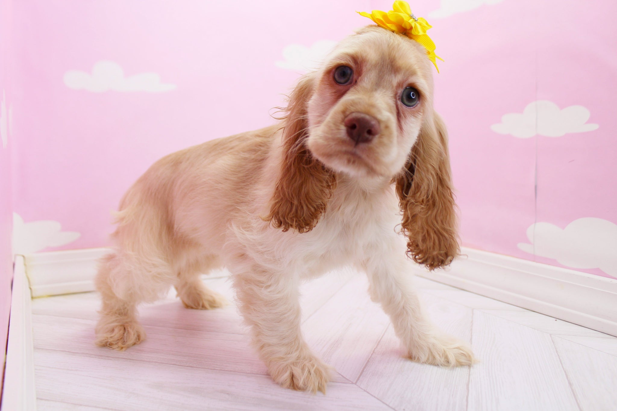Baylee Female Miniature Cocker Spaniel Puppy