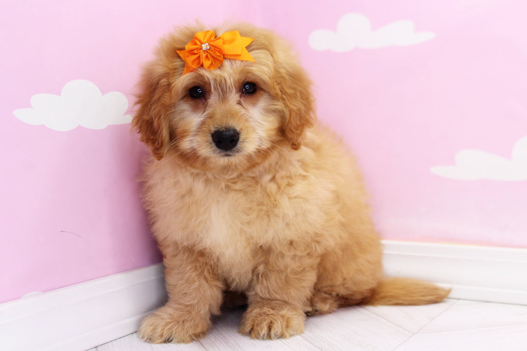 Miniature Goldendoodle Puppies Happytail Puppies Dog Breeders Nc