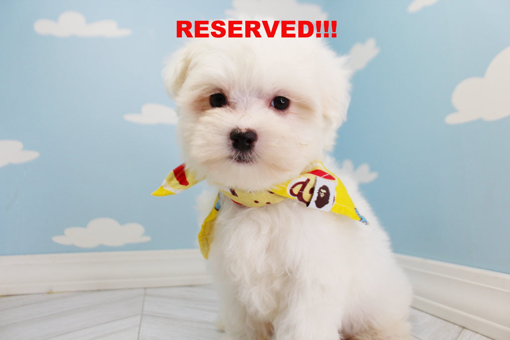 Snoopy Teacup Male Maltese Puppy