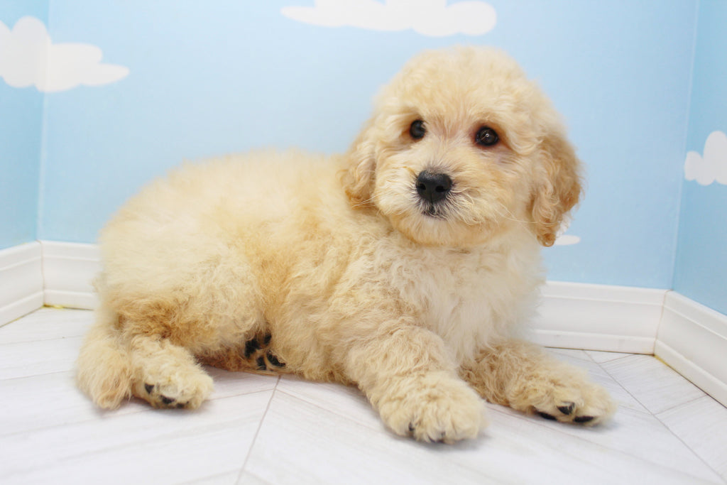 **RESERVED** Chevy Male Miniature Goldendoodle Puppy