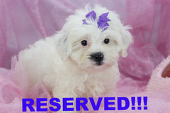 Jenny Female Teacup Shihpoo Puppy