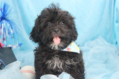 Breck Male Teacup Shih Poo Puppy