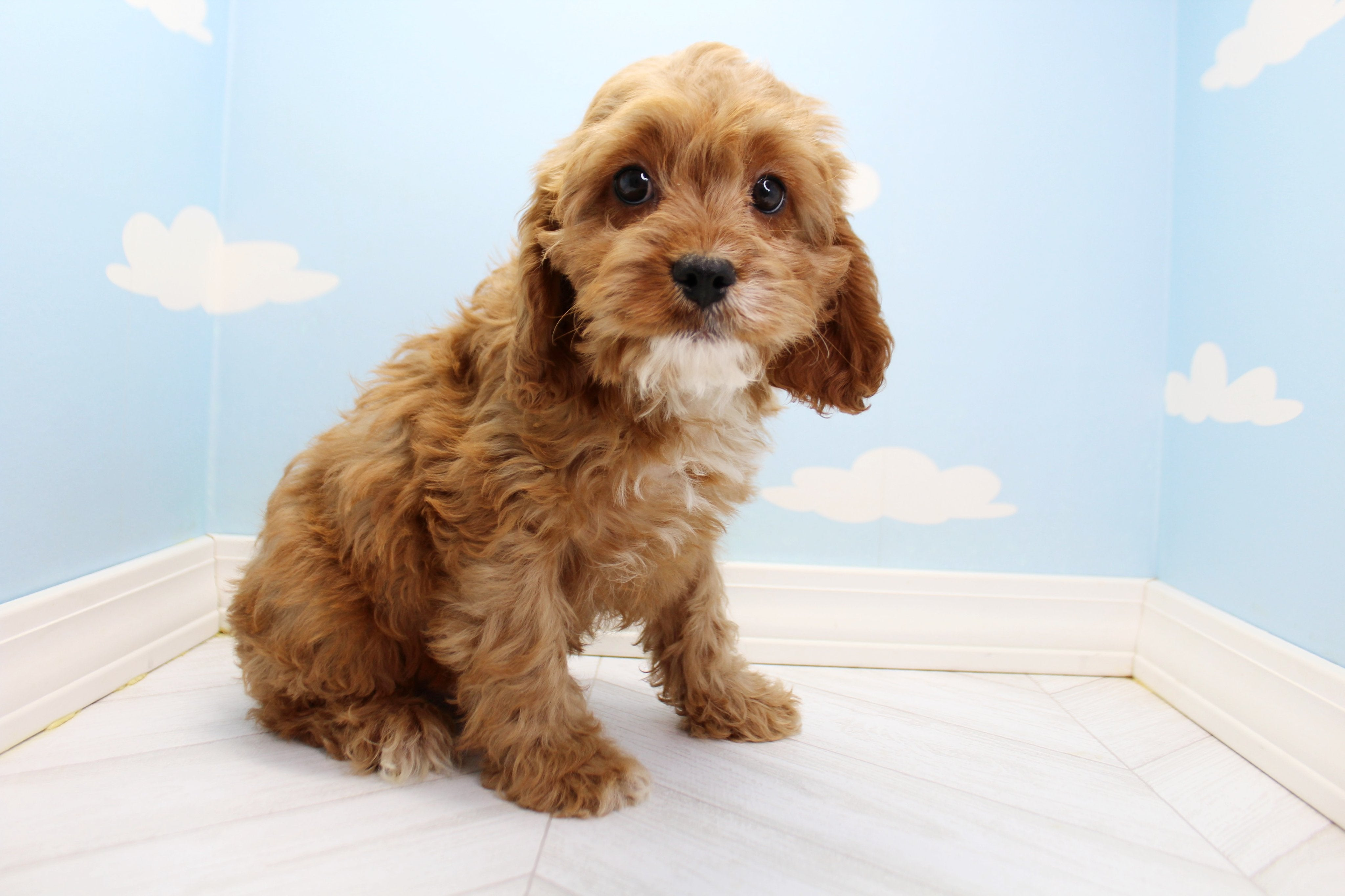 Sparky Male Cavapoo Puppy