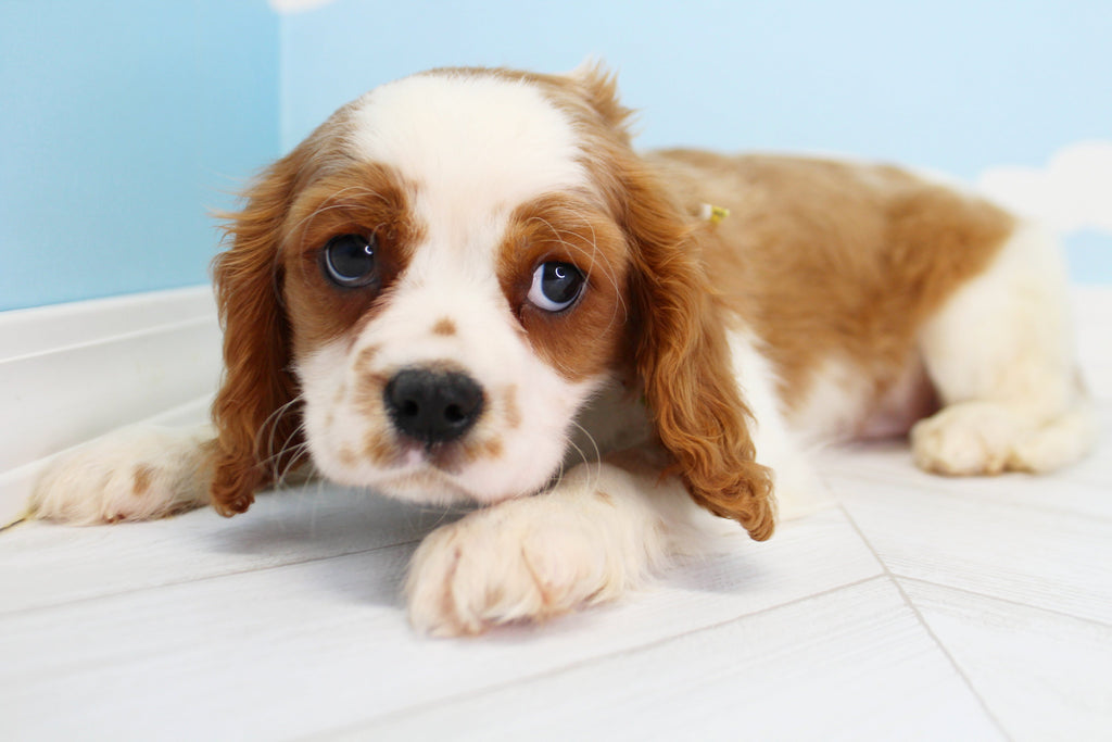 Charles Male Cavalier King Charles Spaniel Puppy