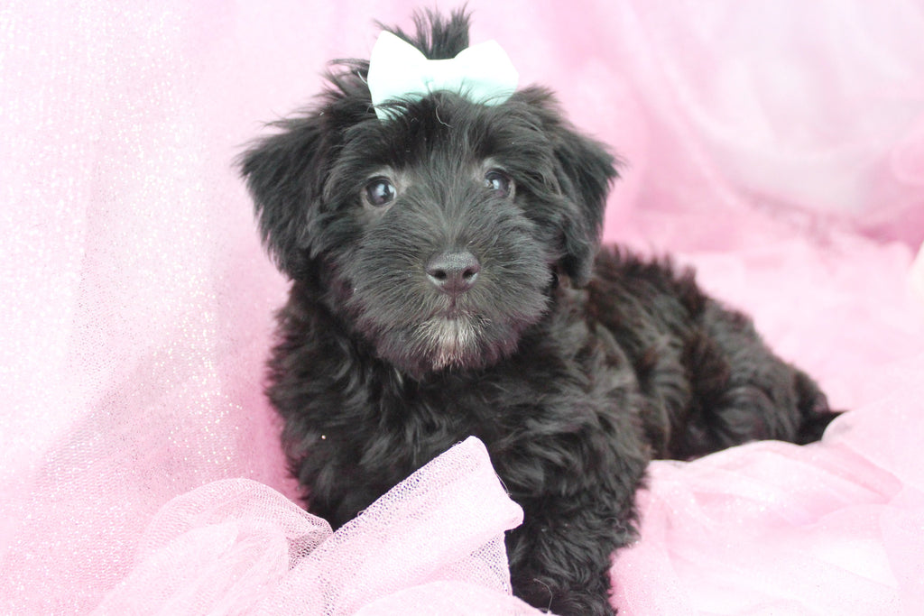 Schnoodle Puppies For Sale In North Carolina   Happytail ...