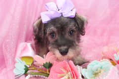 May Female Miniature Schnoodle Puppy