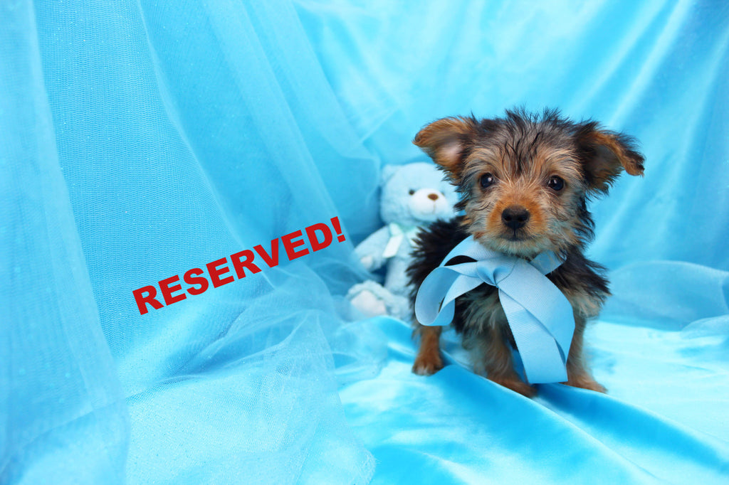 yorkie puppies for sale wilmington nc happytail puppies happytail puppies for sale in north 8059