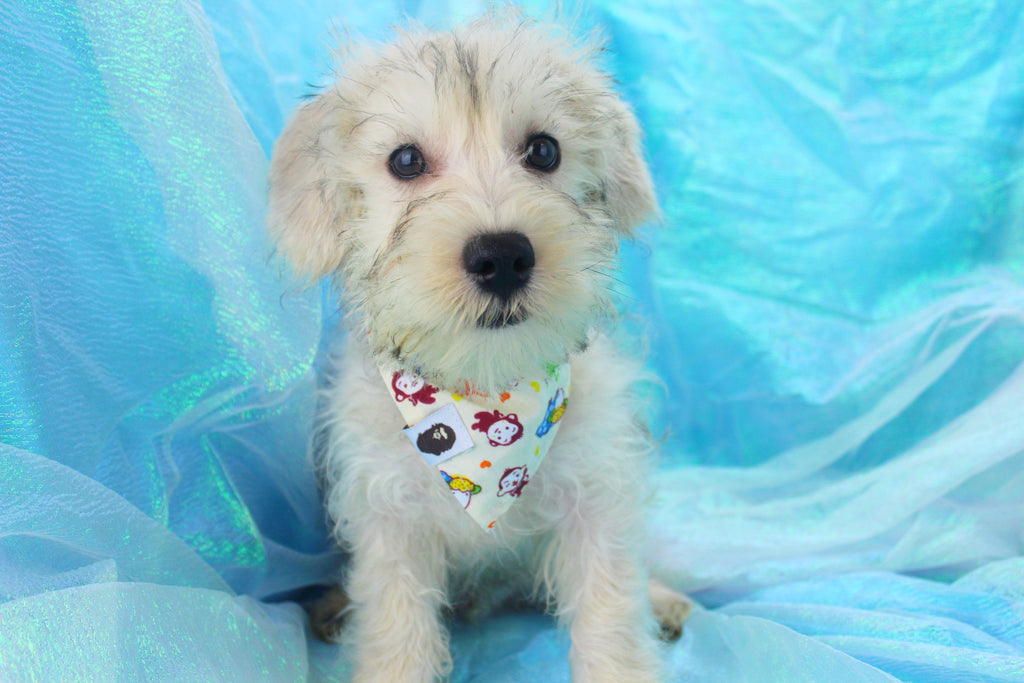 Blue Male Miniature Schnoodle Puppy