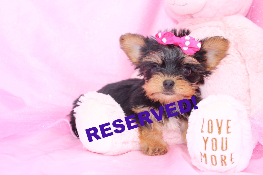yorkie puppies for sale wilmington nc yorkie puppies for sale in north carolina yorkie 3216