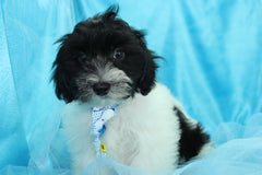 Scout Male Teacup Pomapoo Puppy