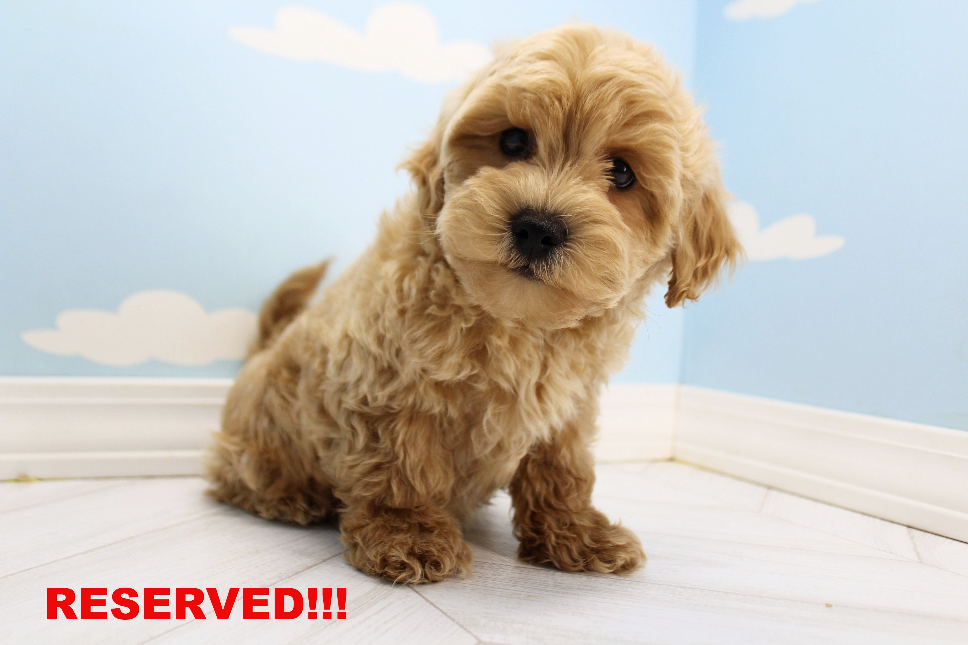 Biscuit Male Teacup Shihpoo Puppy