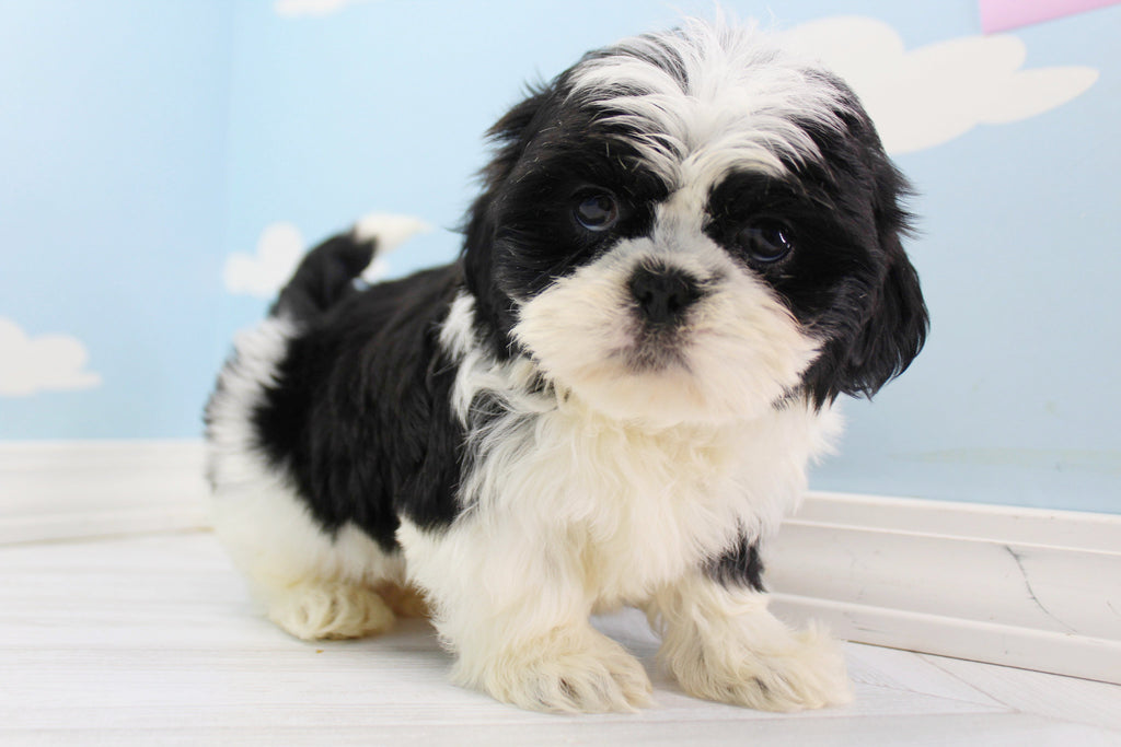 Shih Tzu Puppies Happytail Puppies Family Dog Breeders In Nc