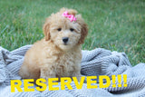 Malibu Female Mini F1B Goldendoodle Puppy