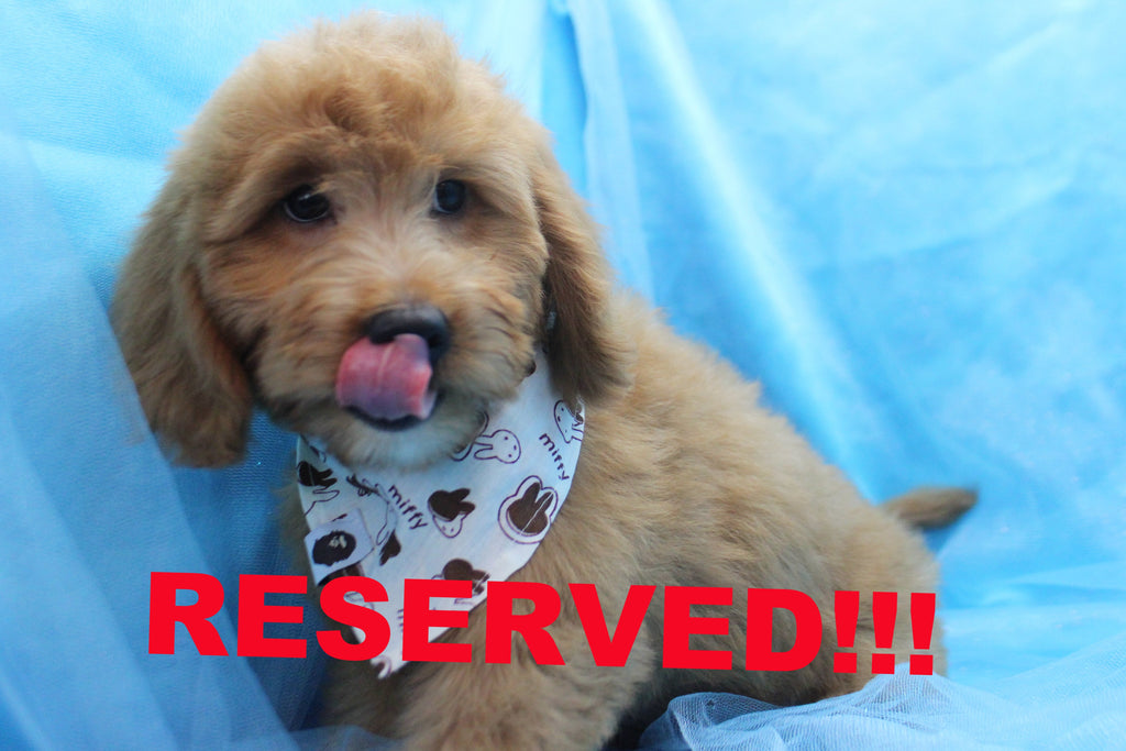 Atlas Male Mini Goldendoodle Puppy