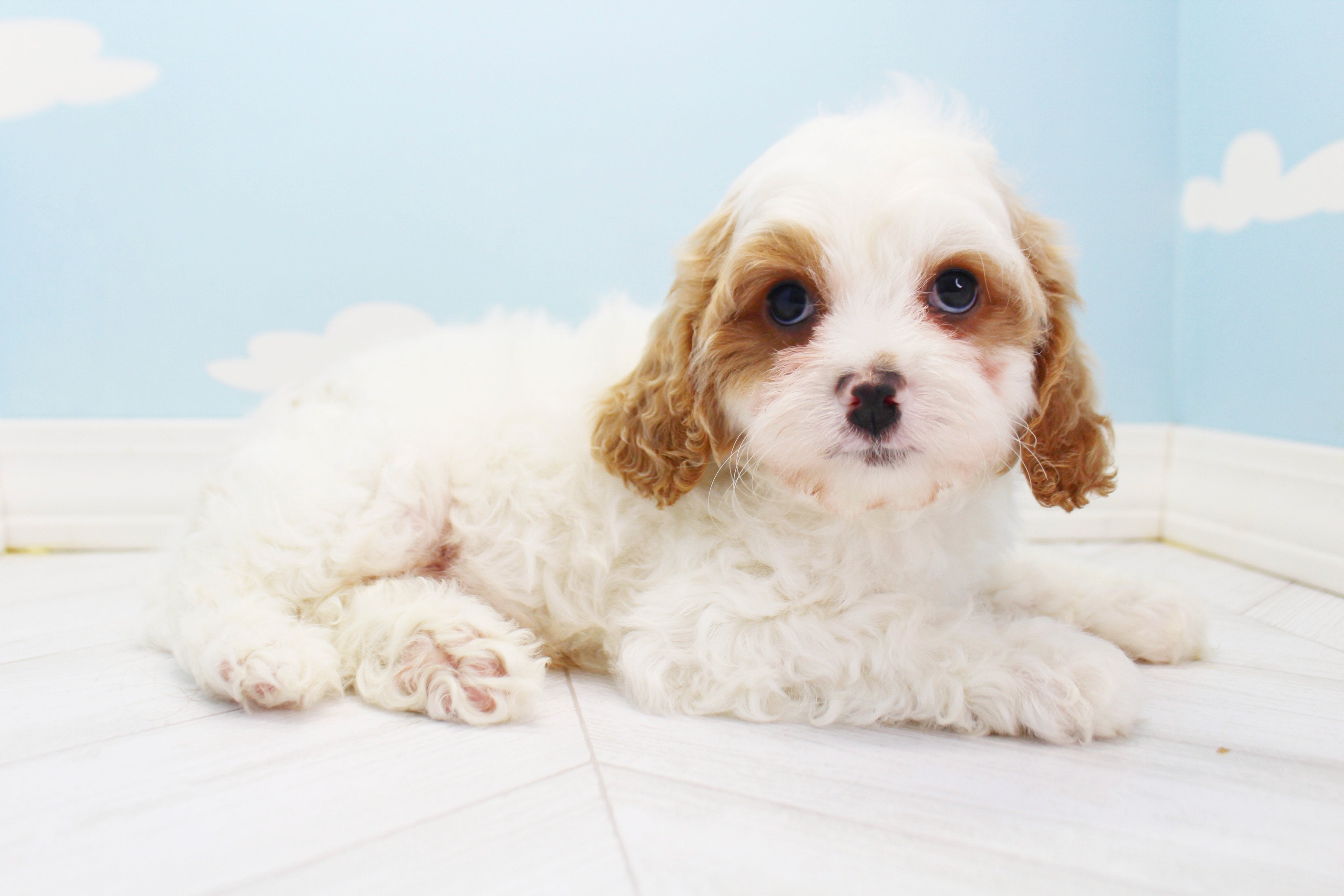 *RESERVED* Sir Digby Male Cavapoo Puppy