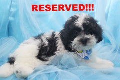 Pepper Male Teacup Teddy Bear Puppy