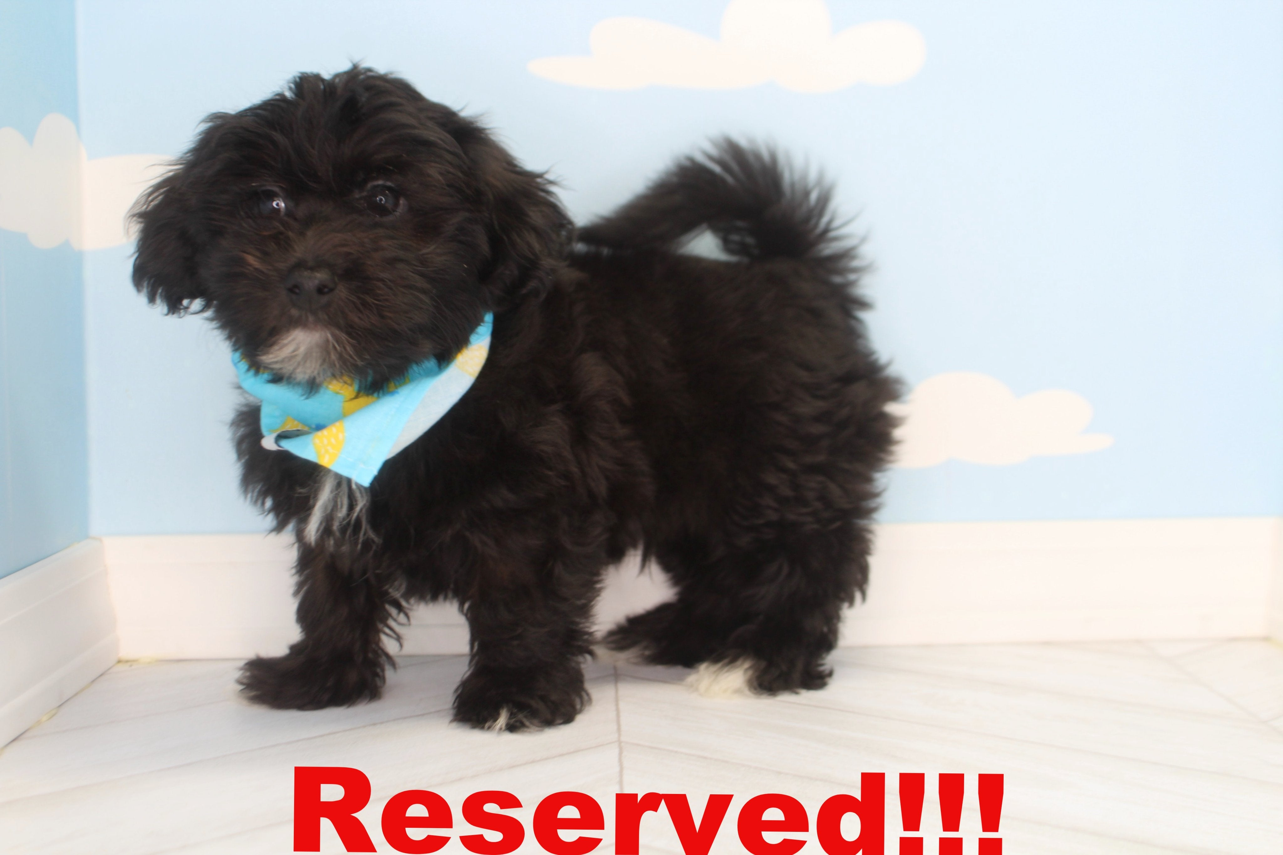 Mallow Male Teacup Morkie Puppy