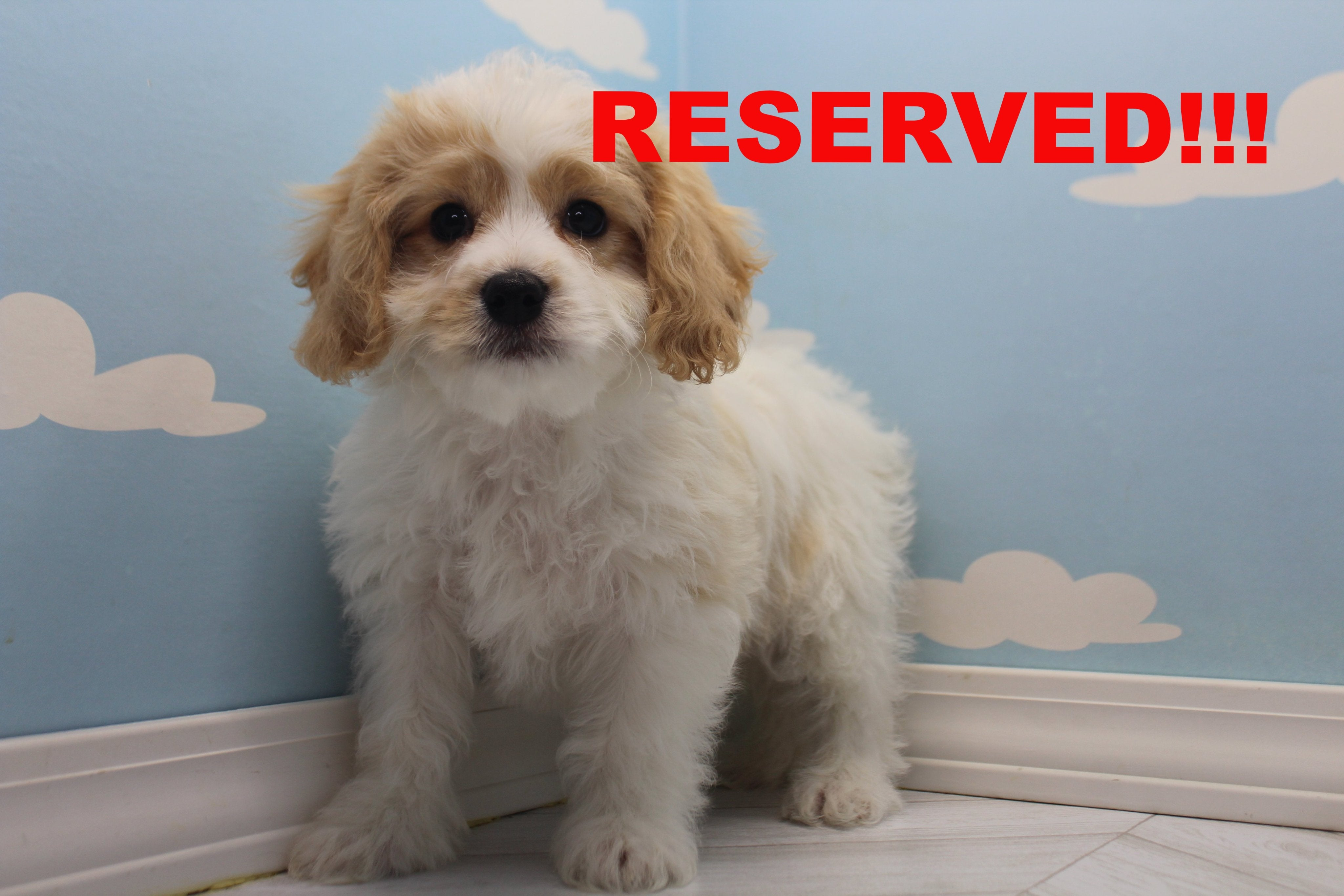 Piffle Male Cavachon Puppy