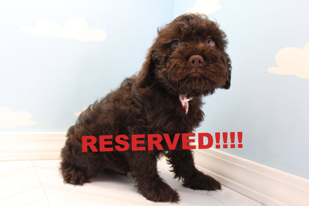 Cockapoo Puppies  Happytail Puppies  Family Dog Breeders In Nc-4177