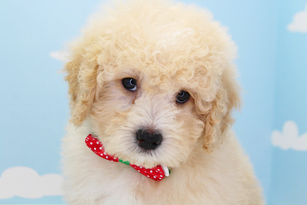 Biscuit Male Cavapoo Puppy