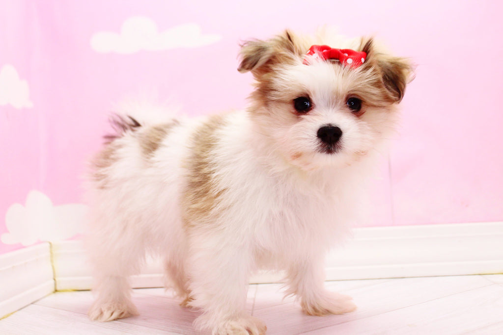 Jellybean Female Teacup Maltipom Puppy