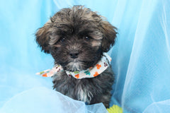 Tripp Male Teacup Teddy Bear Puppy