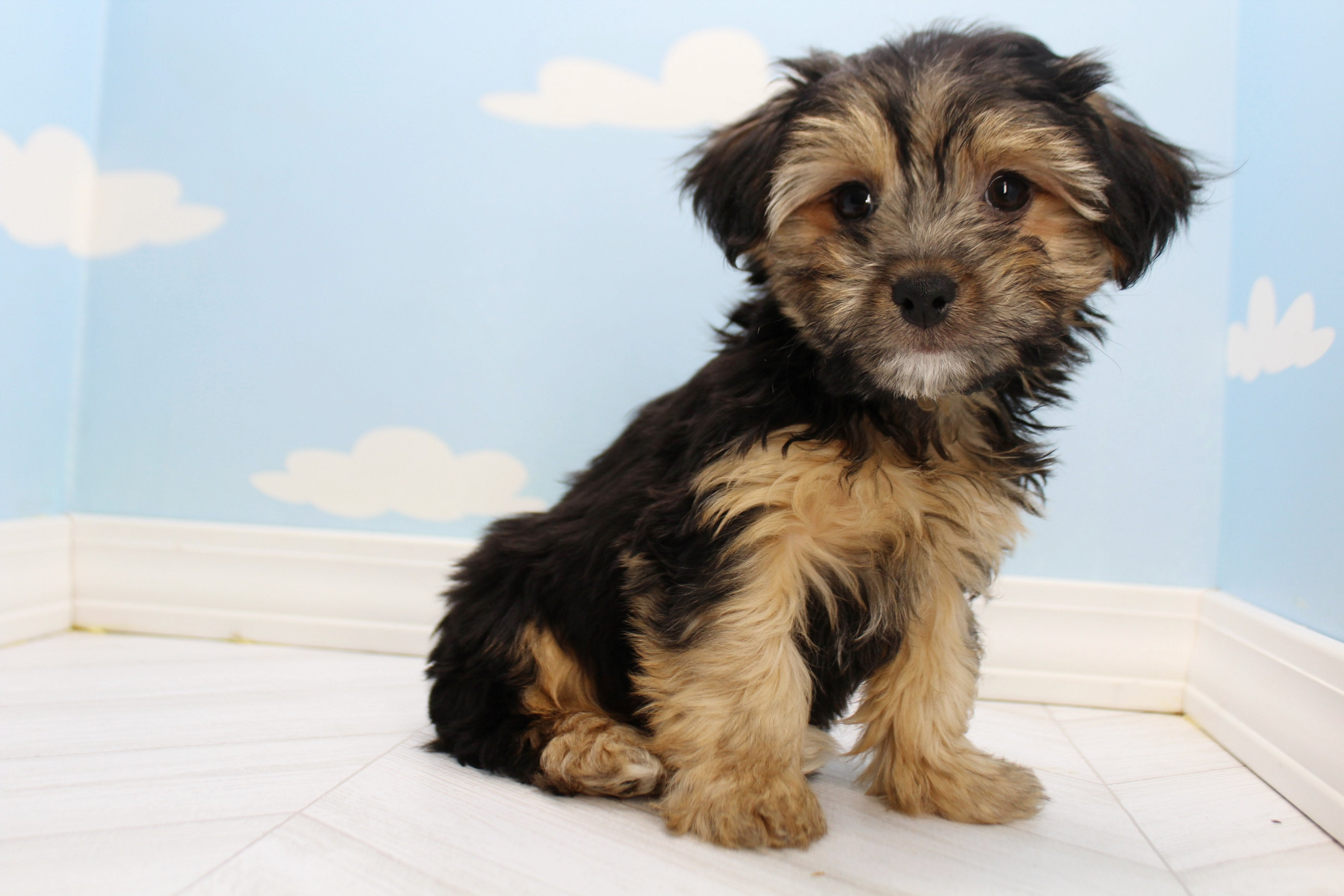 *RESERVED* Cola Male Teacup Yorkipoo Puppy