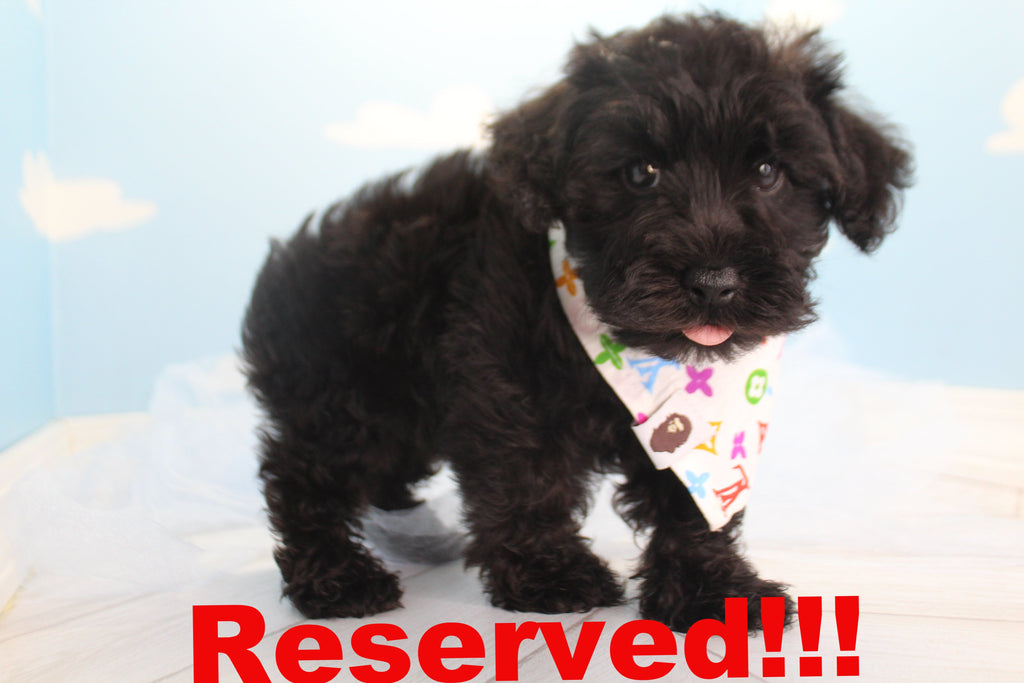 Obsidian Male Miniature Schnoodle Puppy