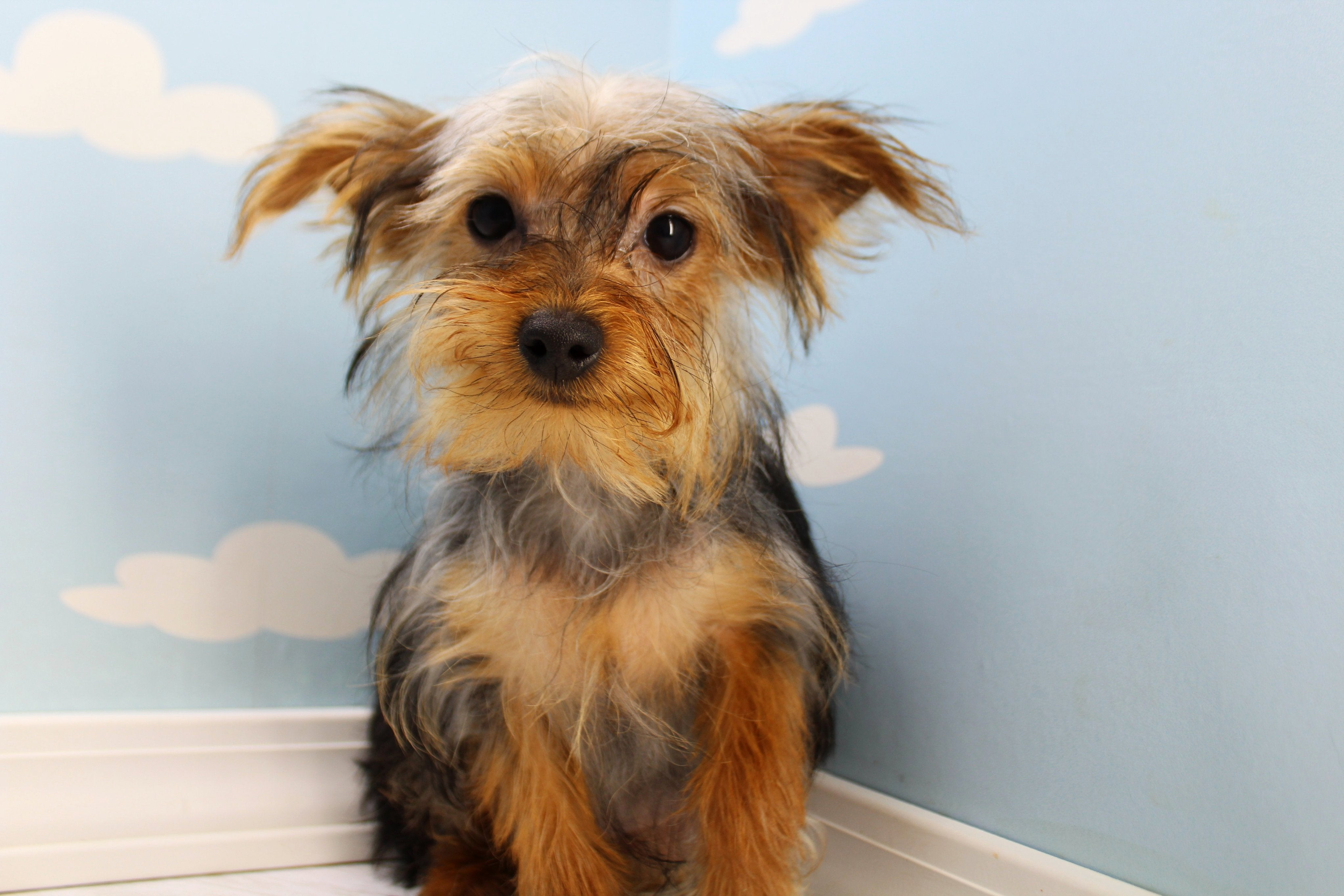 **RESERVED**Robbie Male Teacup Yorkie Puppy
