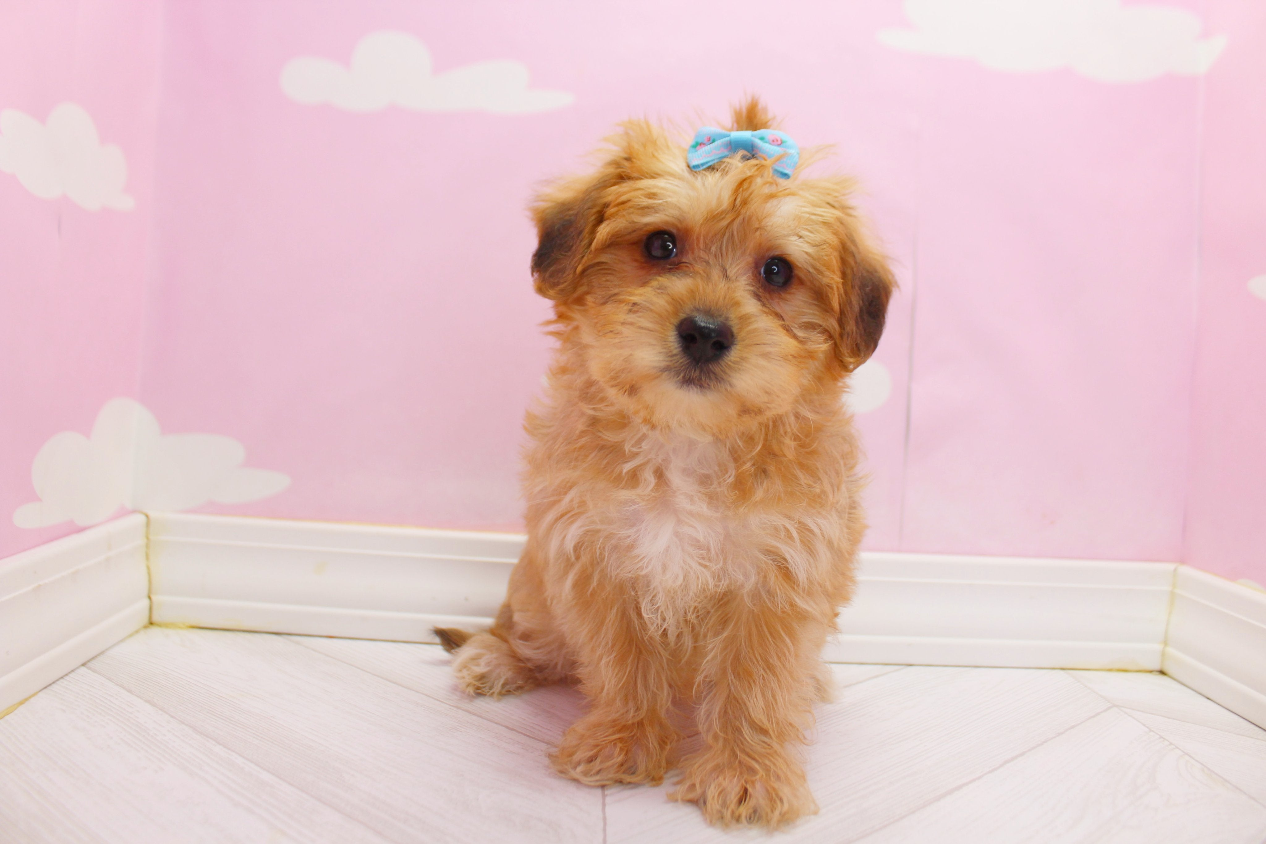 April Female Teacup Morkie Puppy