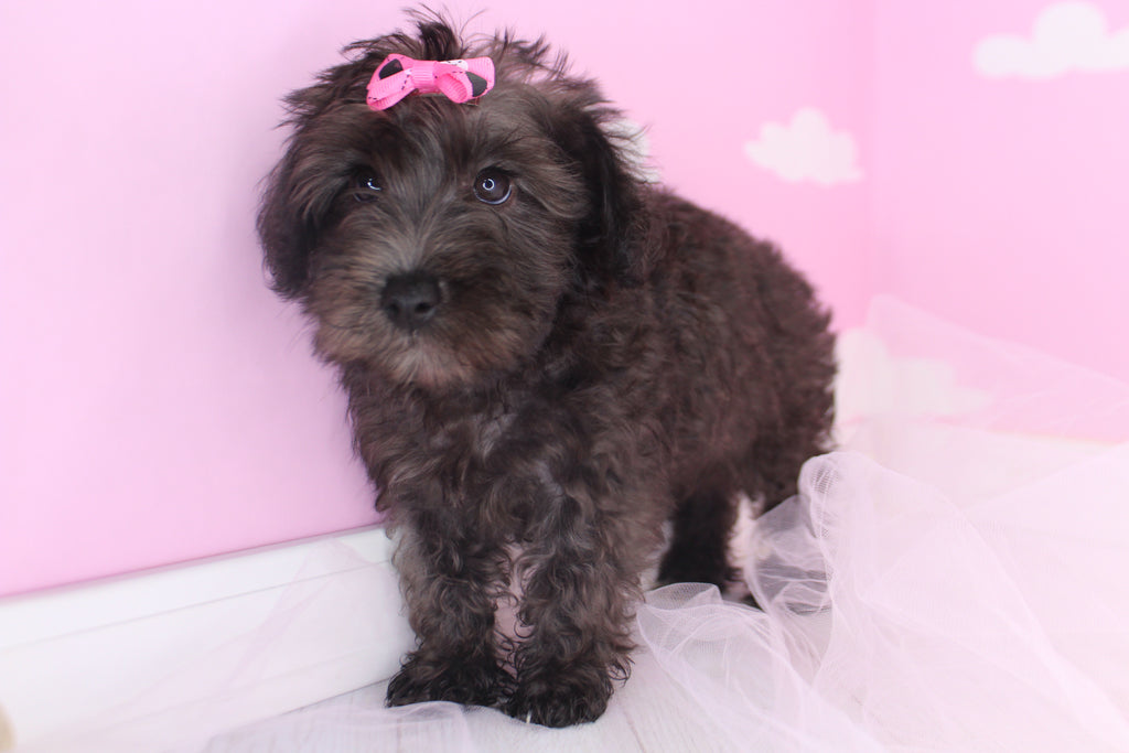 Amethyst Female Miniature Schnoodle Puppy