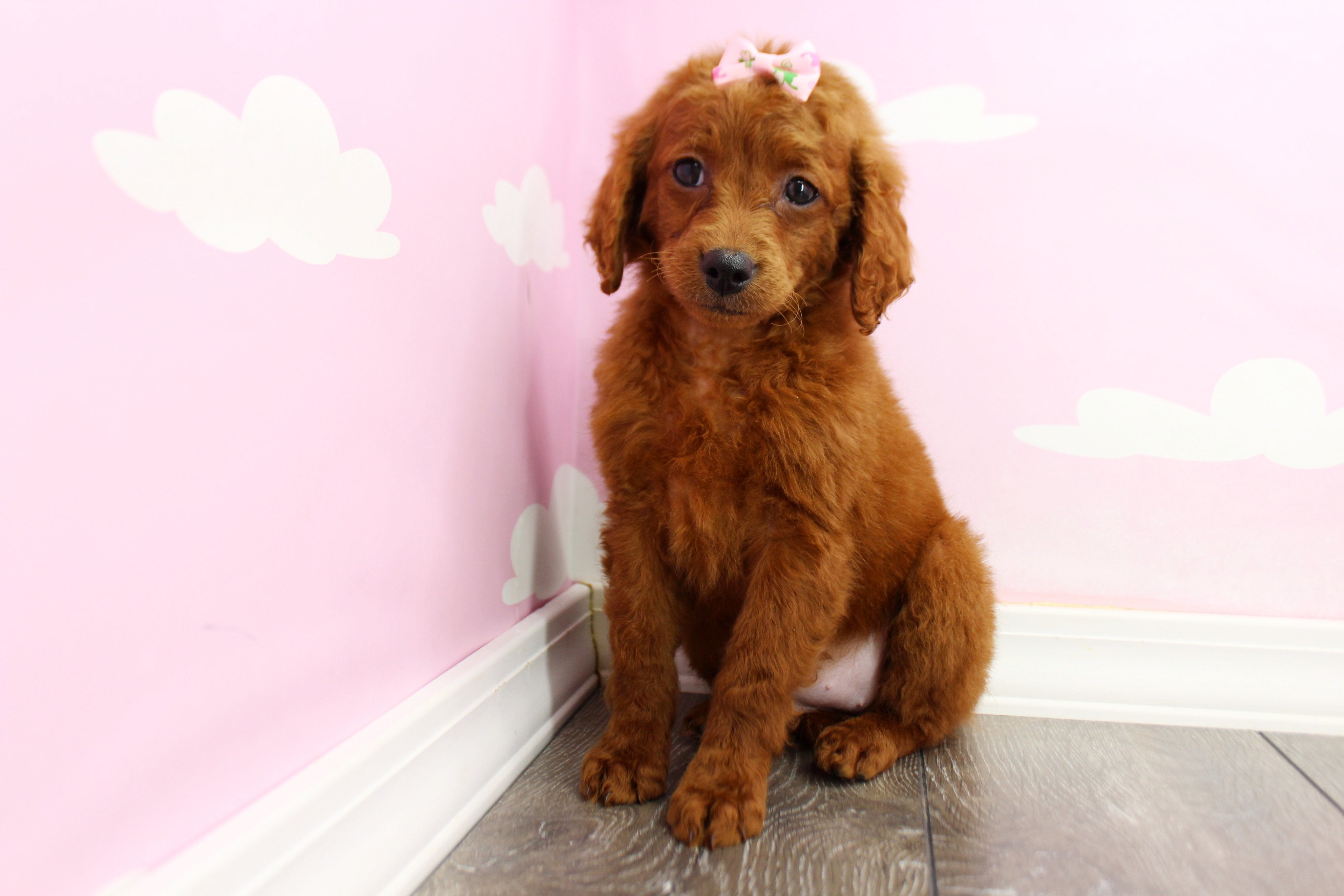 *RESERVED* Daisy Female F1B Miniature Goldendoodle Puppy