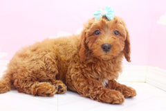 Begonia Female F1B Miniature Goldendoodle Puppy