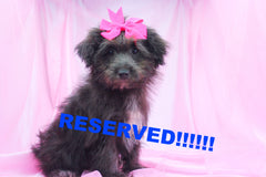 Empress Female Teacup Pomapoo Puppy