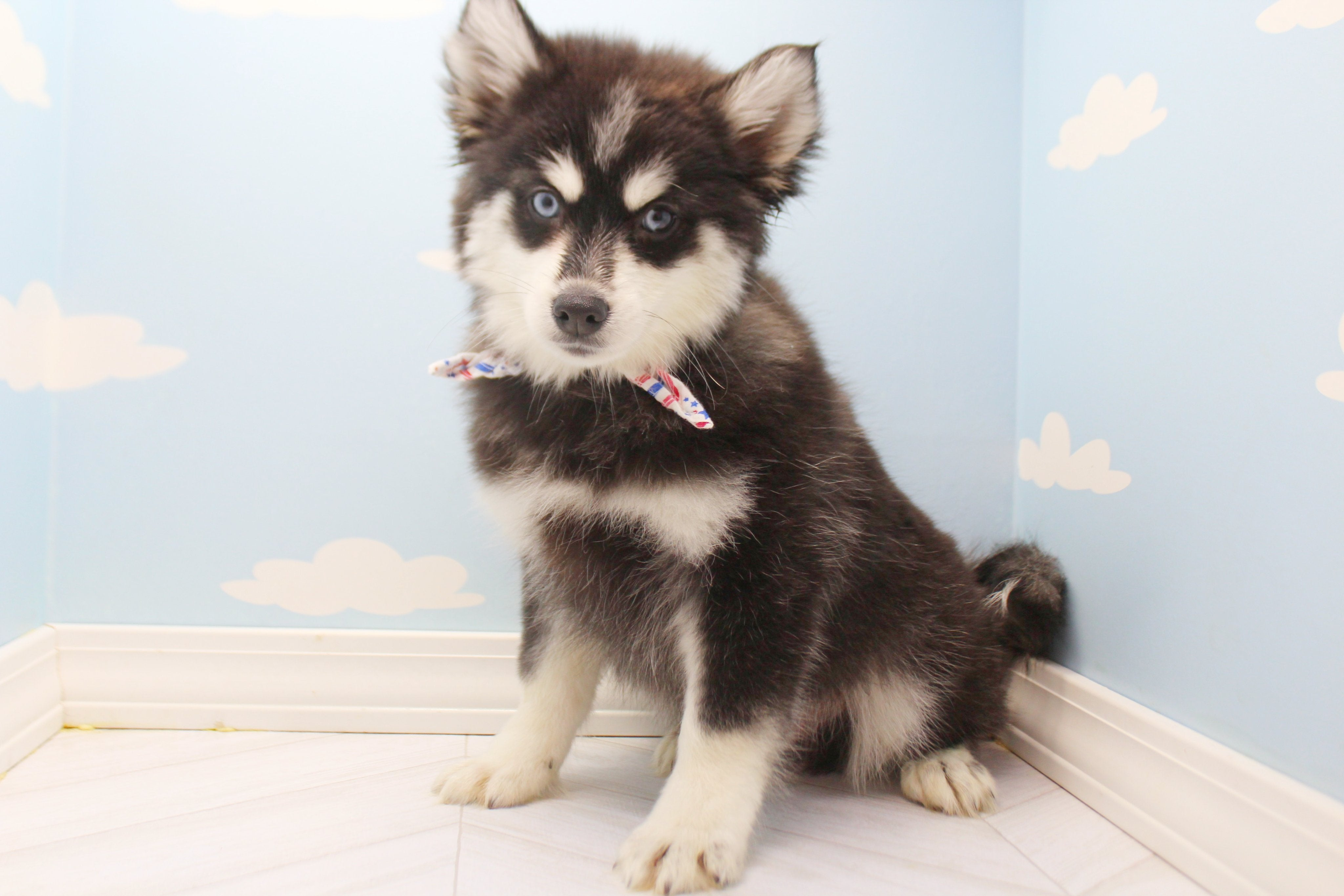France Male Pomsky Puppy