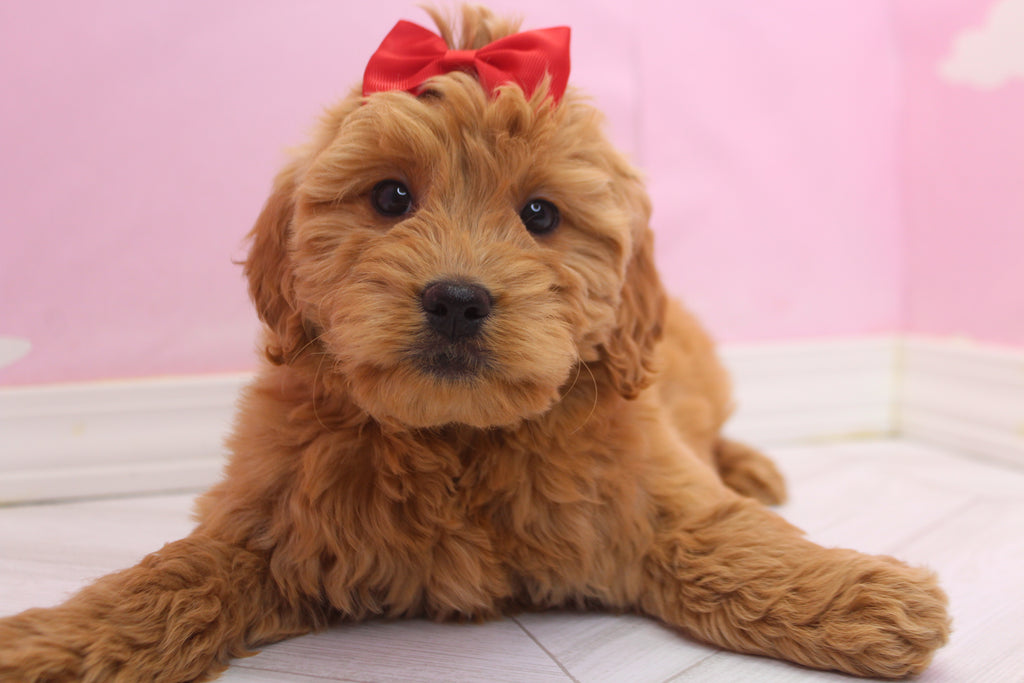 Puppies For Sale Happytail Puppies Nc Home