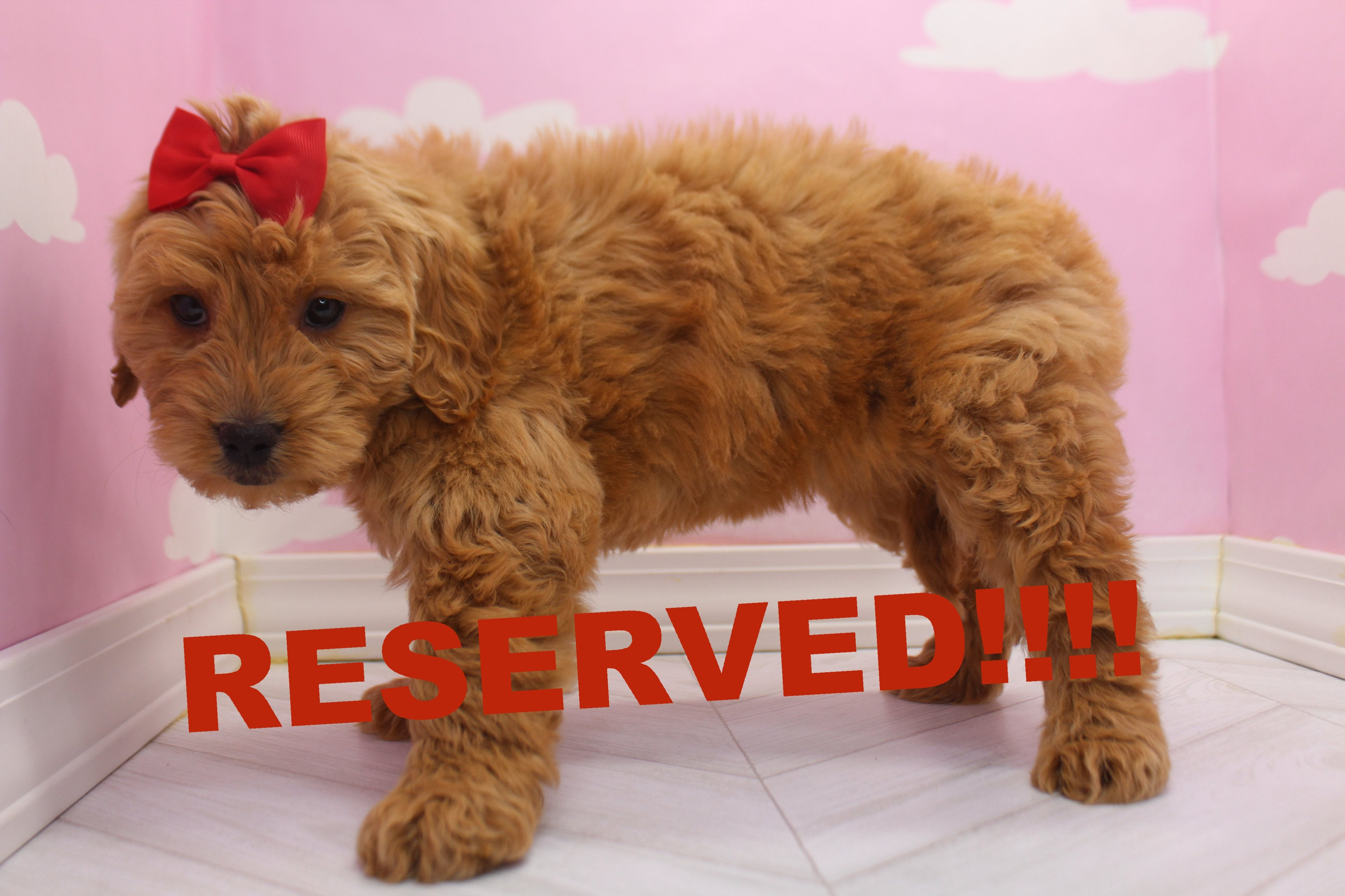 Sunny Female Miniature Goldendoodle Puppy