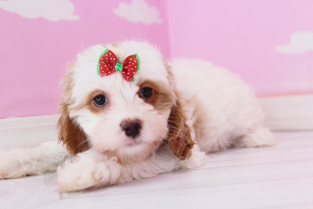 Meadow Female Cavapoo Puppy