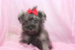 Shasta Female Miniature Schnauzer Puppy