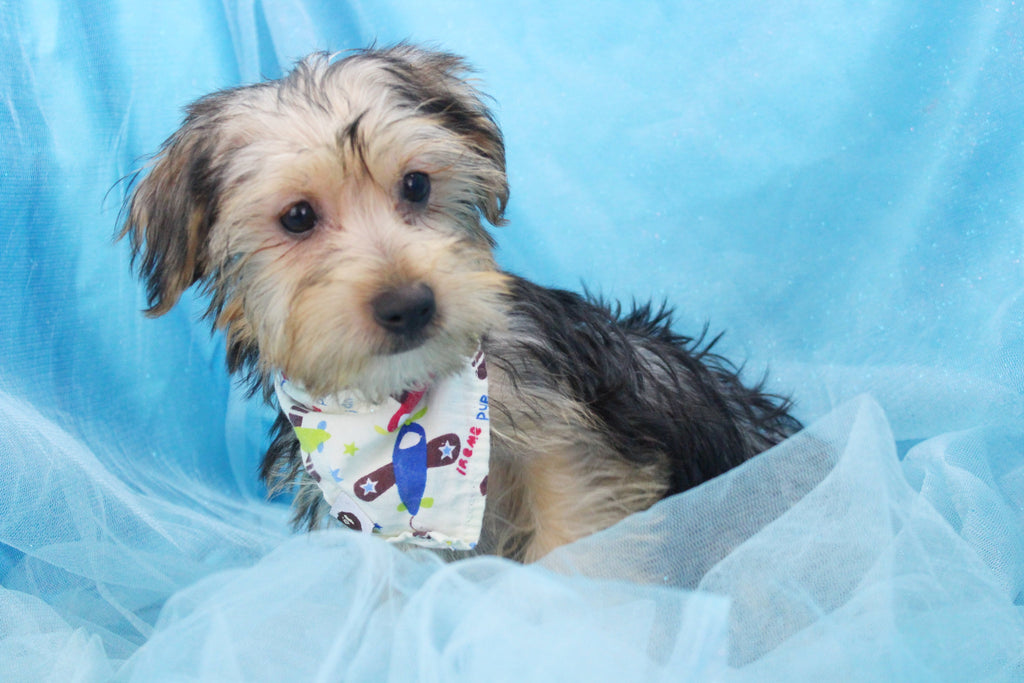 Lemmy Male Teacup Yorkie Puppy