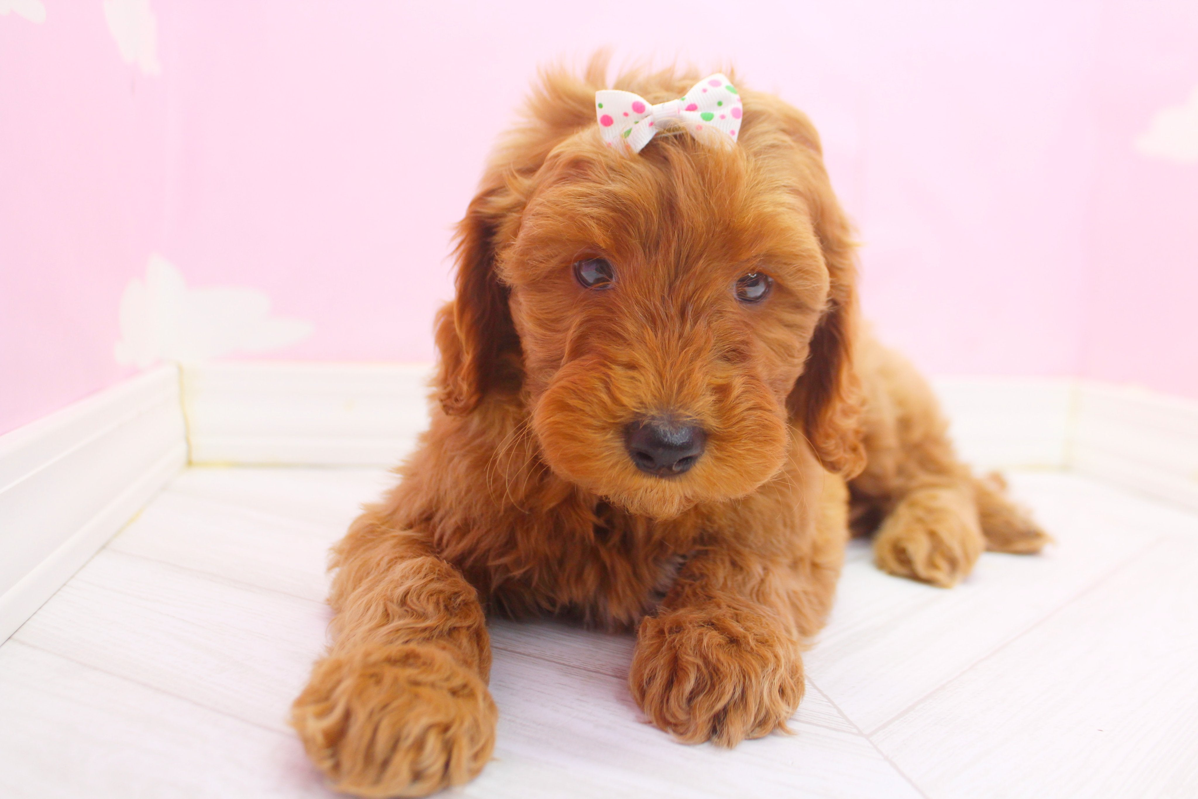 *RESERVED* Delilah Female F1B Miniature Goldendoodle Puppy