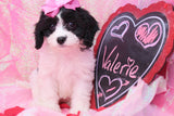 Valerie Female Cavachon Puppy
