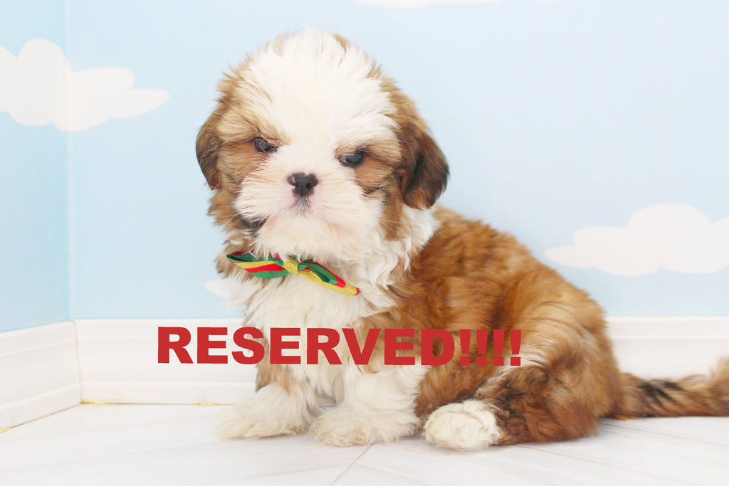 Shih Tzu Puppies For Sale In North Carolina