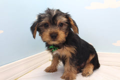 Boris Male Teacup Yorkie Puppy