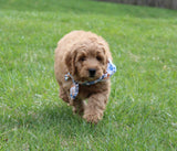 Ace Male Miniature Goldendoodle Puppy