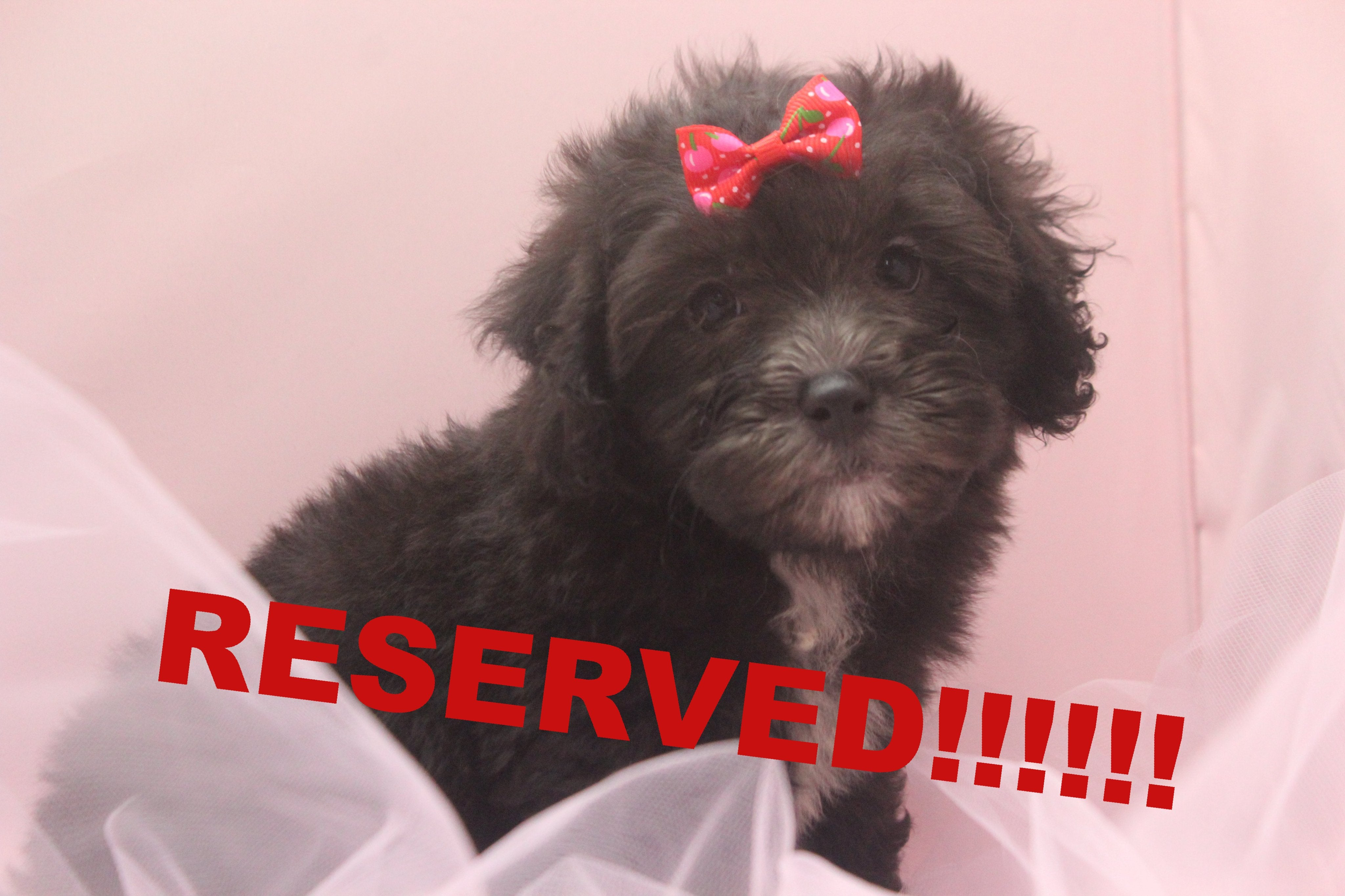 Ebonie Female Teacup Maltipoo Puppy